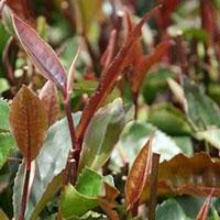 пурпурное чайное дерево