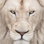 white-lion